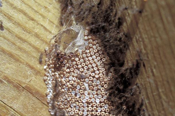 Hämähäkin Munat