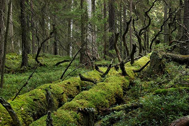 suomalainen metsä