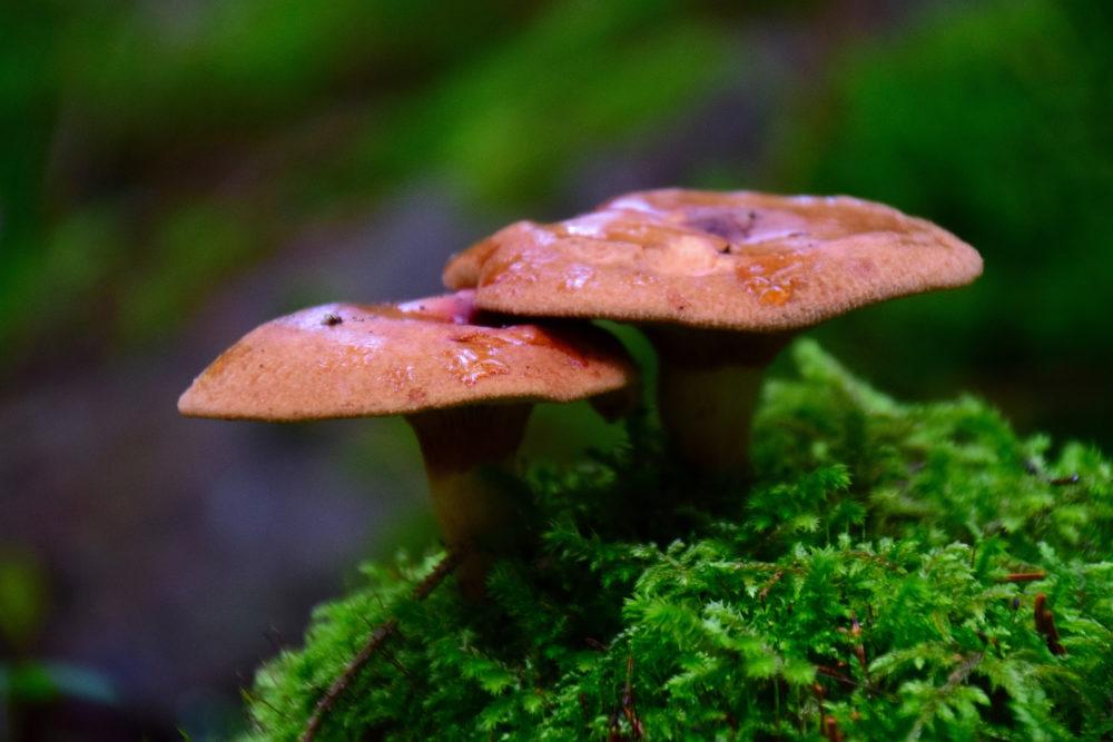 Sieniä