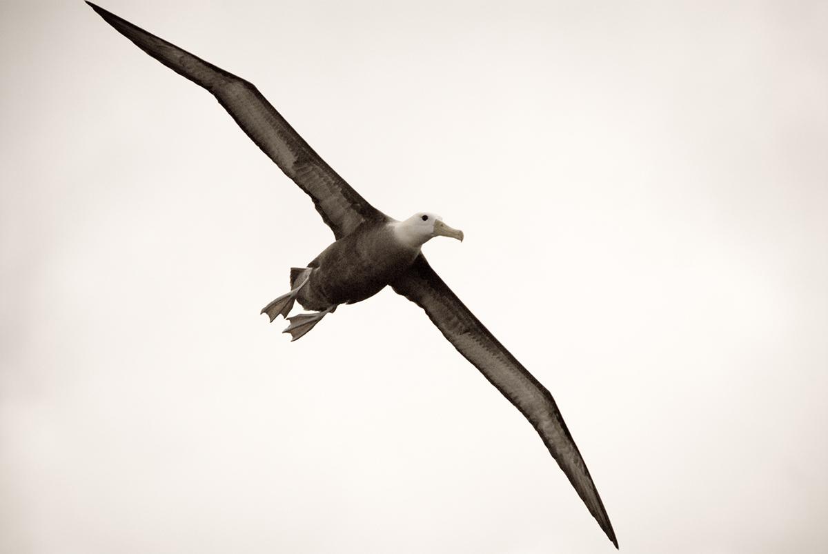 Albatrossi