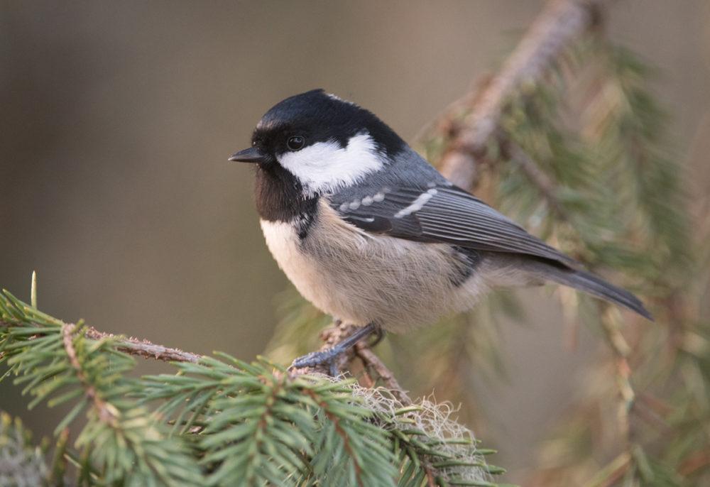 Suomen Linnut äänet