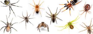 Mikä hämähäkki? Suomessa on satoja hämähäkkilajeja, joista kuvassa on esimerkkejä